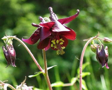 Dark Columbine - from wiki